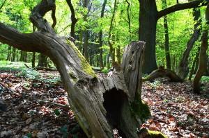 1-5-2017 morgendlicher Überblick alter Eichenmischwald