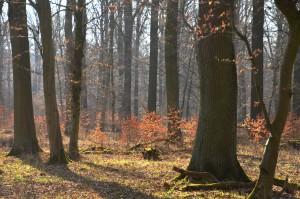 Eichenwald m Buchenverjüngung 20-3-15
