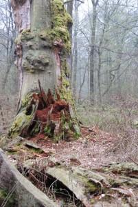Eremit Mulmhöhlenbaum 10-10-12