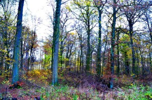 Essehofer Holz alter Eichenbestand 22-11-2013