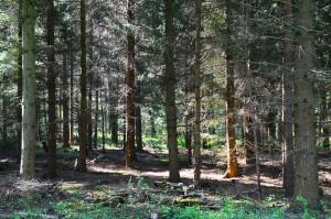 Fehler - 36j Douglasienpflanzung - 18-5-2016