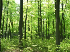 Wasser+Klima 5-4-16 a Buchenwald intakt