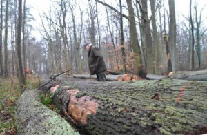 Spechtwald Betrachtung gefällter Bäume