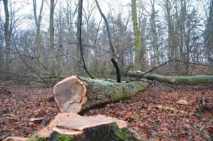 Spechtwald gefällte Bäume am Boden