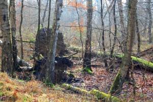 umgestBäume mWurzelteller Störung-Zerstörung 26-2-17