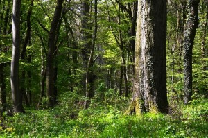 alter Wald 3-5-2017
