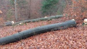 der Wald verliert großflächig seine Altbäume - Gemeindewald Beckingen 25-11-2017