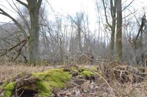 umgestürzte Eiche Moorwald c 2-3-2018