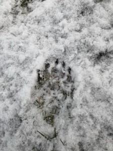 Dachsspur im Schnee 19-2-2018