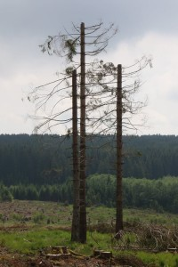 Bildautor Klaus Borger - Fichten gekappt als Greifvogel-Ansitzstangen 13-6-2018