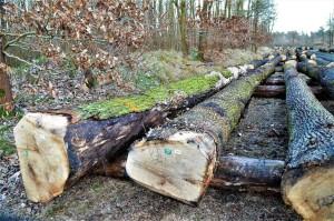Habitatbäume auf Wertholzplatz 10-1-2019