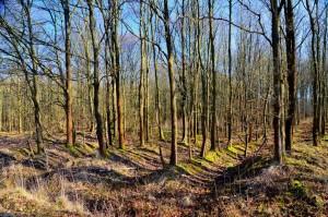Stieleichenplantage auf zerstörtem Waldboden 10-1-2019