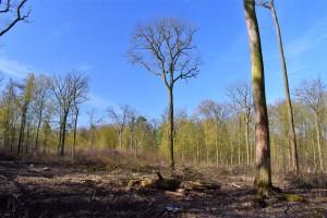 Kahlschlag Winter 2018-19 FFH-Gebiet 102 Beienroder Holz + Vogelschutzgebiet 48