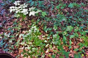 Naturverjüngung Naturwald Rieseberg Abt 213 b - 21-7-2019